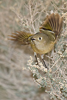554800019v a wild adult ruby-crowned kinglet regulus calendula takes flight from a small desert plant in the northern mojave desert in califonria