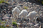 Mountain goat kids. Glacier National Park, Montana.