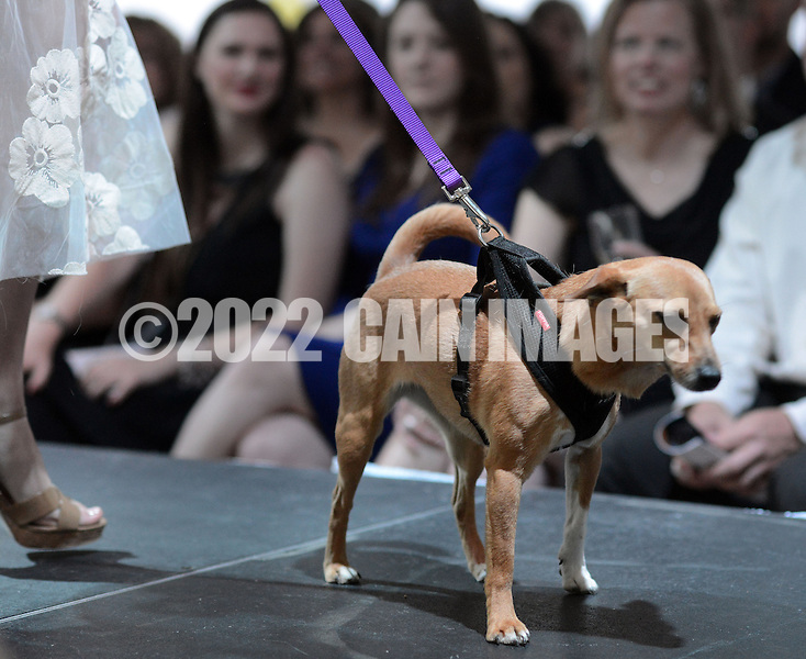DOYLESTOWN, PA - JUNE 06: Buffy Lu the dog pauses on the runway during the Canines on the Catwalk fashion show June 6, 2014 at the Michener Museum in Doylestown, Pennsylvania. Canines on the Catwalk is a fashion show coupling professional models, high-end clothes and dogs. The program benefits animal rescue  (Photo by William Thomas Cain/Cain Images)