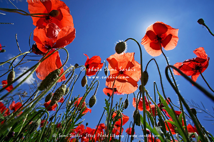 Field of poppies at spring, Provence, France