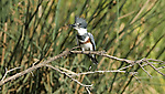 Belted Kingfisher.Ceryle alcyon.at the Sepulveda Wildlife Area.Los Angeles, Ca. November 7, 2008. Fitzroy Barrett