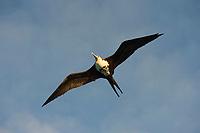 immature great frigatebird, 'iwa, or iwa bird, Fregata minor, flying, East Island, French Frigate Shoals, Papahanaumokuakea Marine National Monument, Northwest Hawaiian Islands, Hawaii ( Central Pacific Ocean )