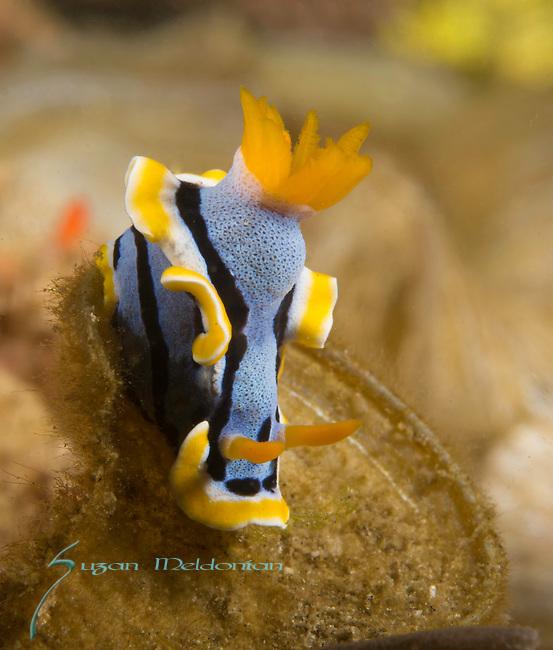 Indonesia, Lembeh, underwater marine life, Anna''s Chromodoris, Chromodoris annae, dorid nudibranchs