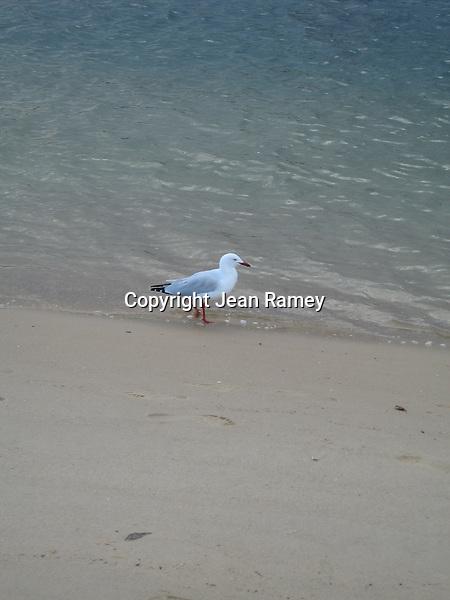 Sydney Seagull