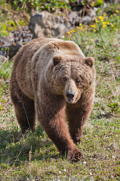 Male grizzly bear, cut above the eye from a recent fight, Denali National Park, Alaska.