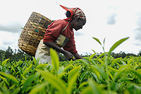 KENYA Limuru, Tigoni,  tea harvest, women pluck green tea leaves in tea garden, two leaves and a bud / KENIA, Tee Ernte, Frauen pfluecken die Teeblaetter