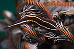 Dumaguete, Dauin, Negros Oriental, Philippines; a brown and yellow striped crinoid clingfish sitting on top of a closed up feather star
