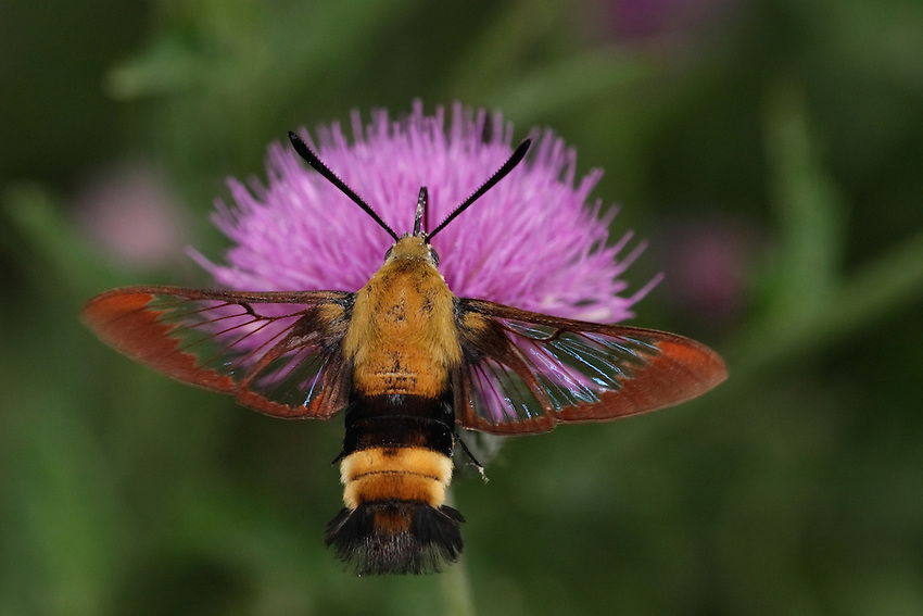 Commonly called clear-wing, hummingbird moth, sphinx colibri. This wonderful creature will hover next to a flower then quickly roll up its feeding tube to fly away...