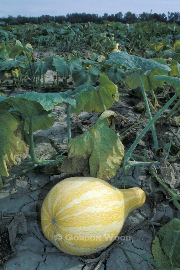 Butternut Squash Ready for Harvest