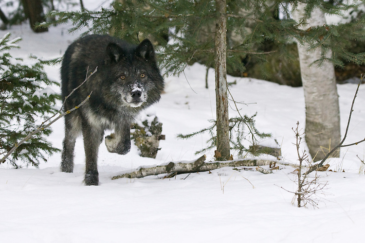Grey Wolf trotting through a snowy forest - CA