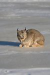 Canada lynx (Lynx canadensis) crouched on the snow-covered ice