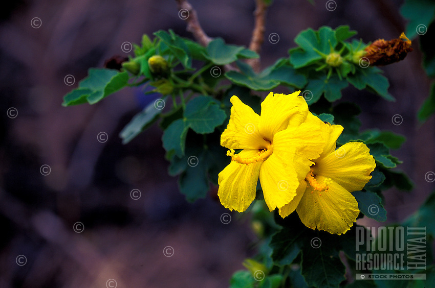 The endangered Hibiscus plant or (brackenridgii)