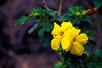 The endangered Hibiscus plant or (brackenridgii)