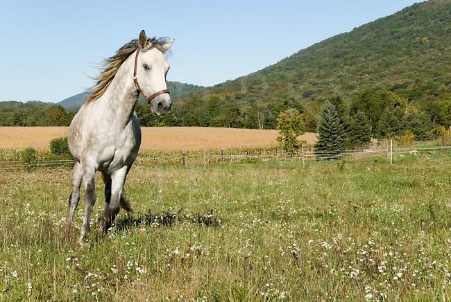 Dapple gray Paso Fino running through wildflower meadow, Hyndman, Pennsylvania, Bedford County, PA.
