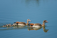 Egyptian Geese pair with Goslings swimming at Inks Lake National Fish Hatchery, Burnet, TX