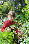 Berkeley CA Girl, six-years-old, happily digging up carrots in grandparents' organic vegetable garden MR