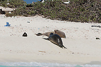 an endemic Hawaiian monk seal, Neomonachus schauinslandi, reacts aggressively to another seal (wet from the water) which has approached the first (dry) seal, which had been sleeping in the sun, French Frigate Shoals, Papahanaumokuakea Marine National Monument, Northwest Hawaiian Islands, USA ( Central Pacific Ocean )