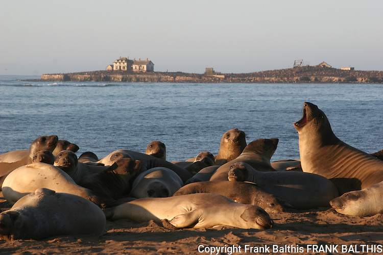 Elephant seals at Ano Nuevo SR