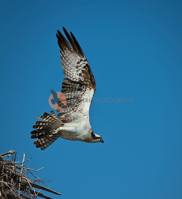 Osprey in flight leaving nest with wings aloft