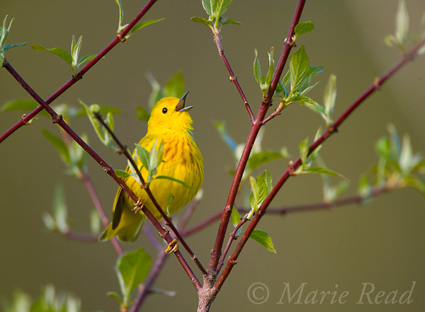 Yellow Warbler (Dendroica petechia) male singing, perched in red-osier dogwood in spring, New York, USA