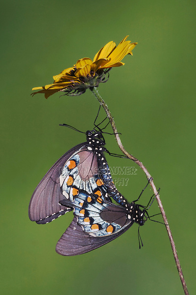 Pipevine Swallowtail (Battus philenor), pair mating, Sinton, Corpus Christi, Coastal Bend, Texas, USA