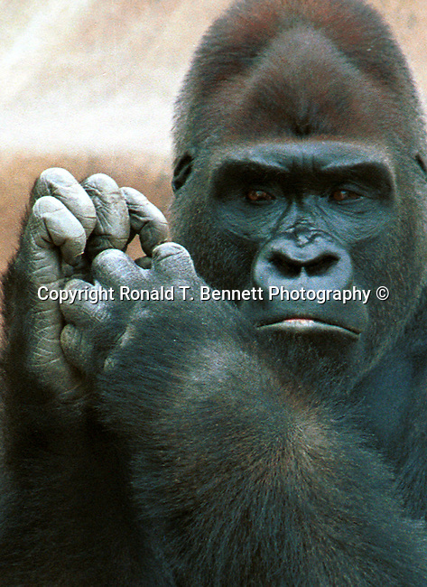 Gorillas forest of Africa, Gorillas, primates, disambiguation, herbivores, forest of Africa, gorillini, primatologists, Animal, wild animals, domestic animals,  Fine Art Photography, Ron Bennett Photography ©, Fine Art Photography by Ron Bennett, Fine Art, Fine Art photography, Art Photography, Copyright RonBennettPhotography.com ©