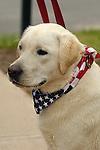 July 4th Parade.Golden Labrador with patriotic kerchief.