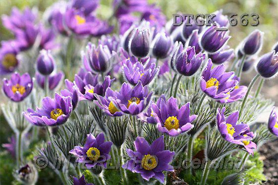 Gisela, FLOWERS, photos(DTGK663,#F#) Blumen, flores, retrato