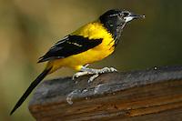 Audubon's Oriole - Icterus graduacauda - Adult