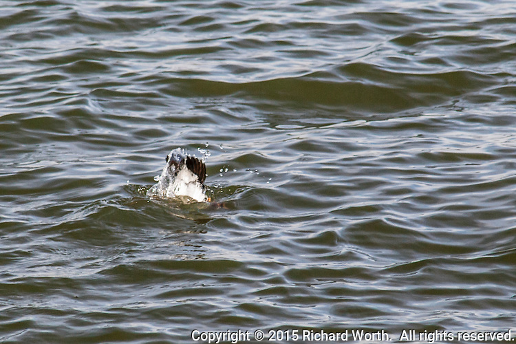 In its near constant search for food, a Common goldeneye dives into the waters of San Leandro Bay at MLK Regional Shoreline.