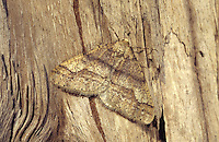 Dotted Border - Agriopis marginaria