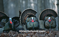 00845-013.04  Eastern Wild Turkeys (Meleagris gallopavo) gobblers strutting  Stephen A. Forbes SP Marion Co.  IL