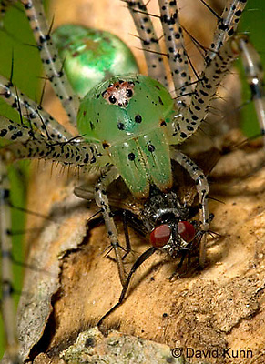 "0515-07nn  Green Lynx Spider  Consuming Fly - Peucetia viridans  ""Eastern Variation"" - © David Kuhn/Dwight Kuhn Photography"