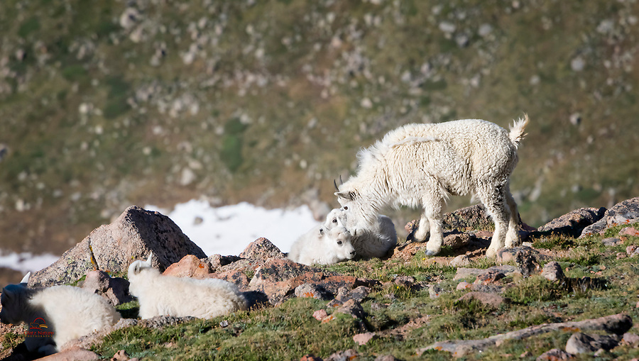 This yearling Mountain Goat (Oreamnos americanus) was a real favorite of the kids in the herd.  Probably because it was always checking on the kids, playing with them, chasing them and leading them up the cliffs.  Mount Evans, Colorado.
