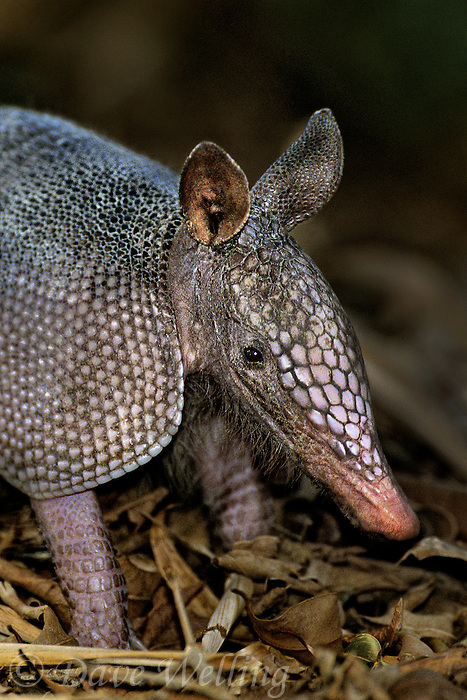 605500010 a wild nine-banded armadillo dasypus novemcintus forages in leaf litter on a private ranch in tamaulipas state mexico