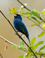 Adult male idigo bunting in breeding plumage singing