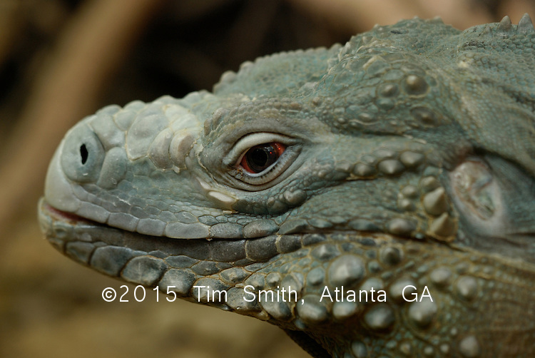 Beautiful And Ancient Looking Grand Cayman Blue Iguana Lizard Cyclura Lewisi With Crimson Red