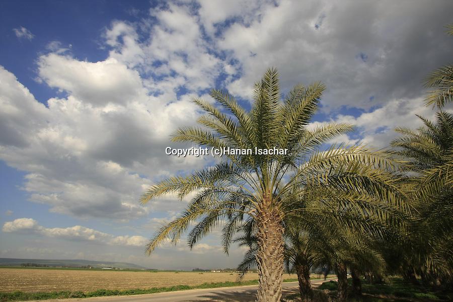 Israel, Beth Shean valley. Date trees near Kibbutz Reshafim