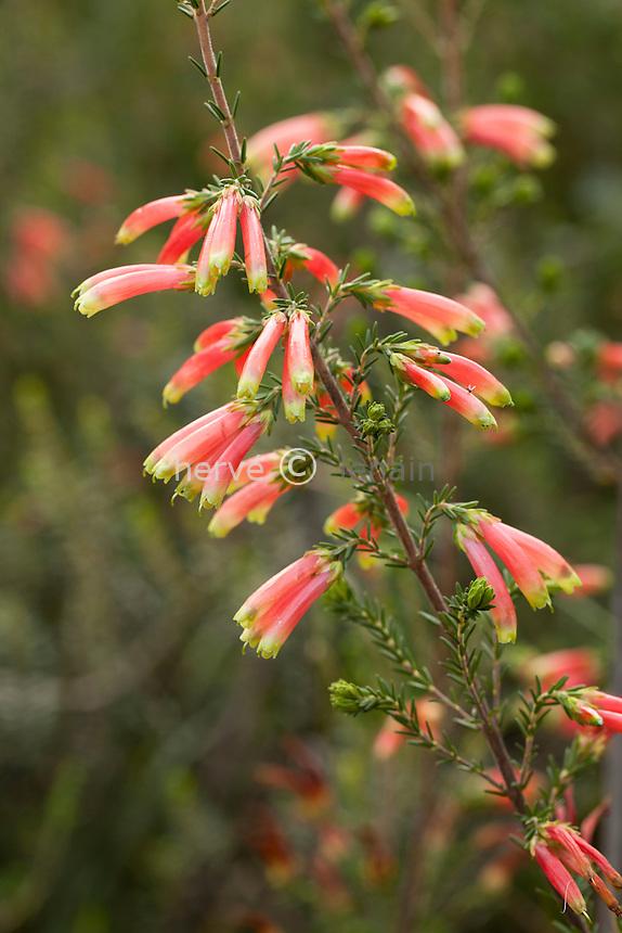 Domaine du Rayol en novembre : dans le jardin d'Afrique du sud, évocation du fynbos avec ici une bruyère (Erica versicolor)