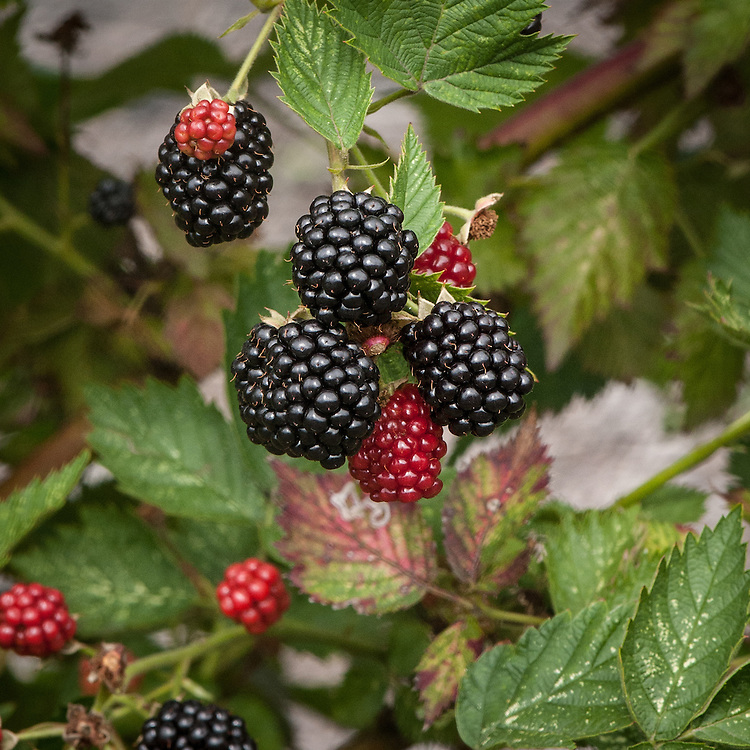 Blackberry 'Loch Ness', early September. A compact, thornless variety that does not require a lot of space or complex training. Good-sized fruit, good yields, and good flavour.