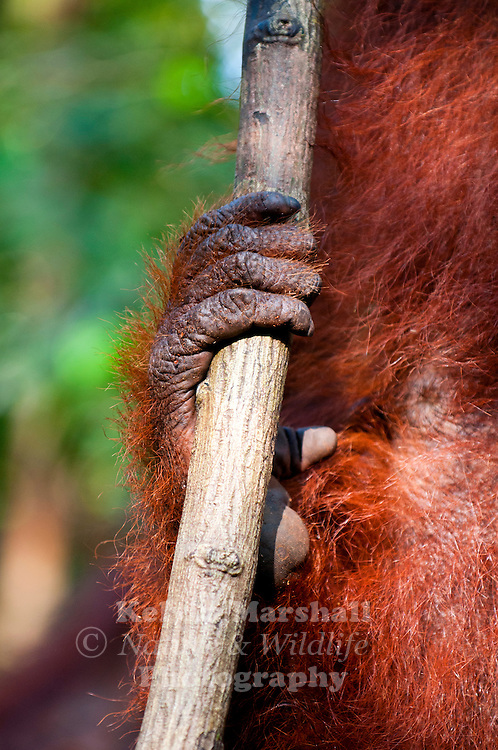 A close up of the foot of a Bornean Orangutan  (Pongo pygmaeus) - Tanjung Puting National Park, Central Kalimantan Indonesia.