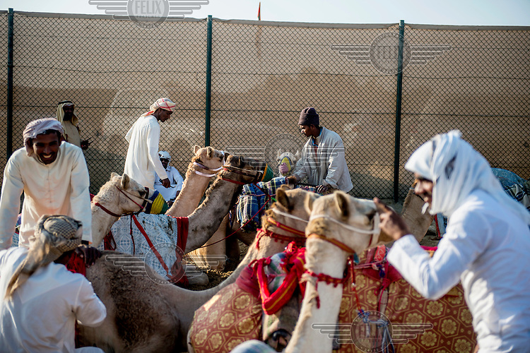 Camels with their handlers in a pre-race waiting area.