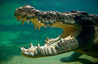 Gaping mouth of a saltwater crocodile