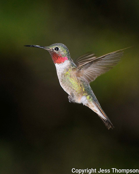 Hummingbird from Southeastern Arizona