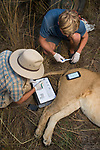 African Lion (Panthera leo) biologists, Jonah Gula and Milan Vinks, taking temperature of six year old female lion during collaring, Kafue National Park, Zambia