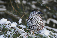 Spotted Nutcracker (Nucifraga caryocatactes), adult perched on Norway spruce ruffled by minus 15 Celsius, Davos, Switzerland, December 2007