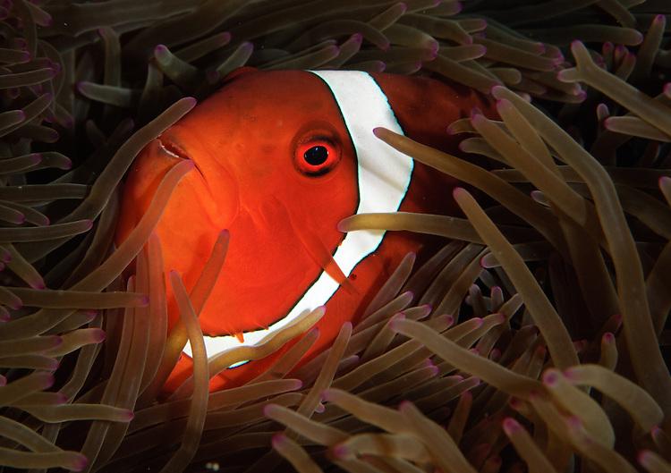 spinecheek anemonefish: Premnas biaculeatus, heads view, Gorontalo, Indonesia