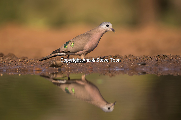 Emerald-spotted dove wood (Turtur chalcospilos), Zimanga private game reserve, South Africa, May 2017