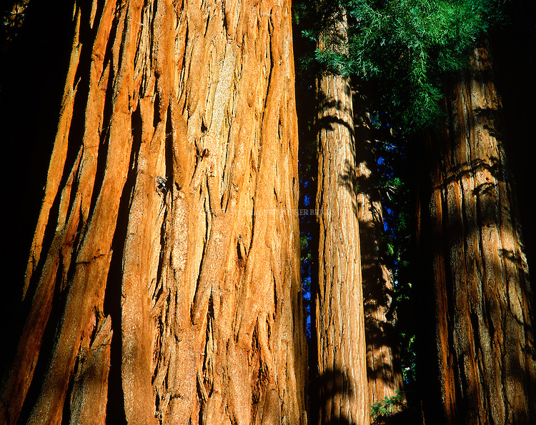 The Cloister group of Giant Sequoia trees (Sequoiadendron giganteum, Sierra redwood, Sierran redwood, or Wellingtonia). World's largest trees in terms of total volume; grow to avg. 160-279 ft (50–85m) tall and 20-26 ft (6–8) in diameter; record trees to 311 ft (94.8m) tall and over 56 ft (17m) in diameter. Sequoia National Park, est. 9/25/1890. 404,051 acres (1,635 km2). Giant sequoia forests are part of 202,430 acres (81,921 ha) of old-growth forests shared by Sequoia and Kings Canyon. National Parks. Thousands of trees cut in late 1800's. Sequoia trees splinter easily and found to be unsuitable for timber harvesting. Tulare County, CA.