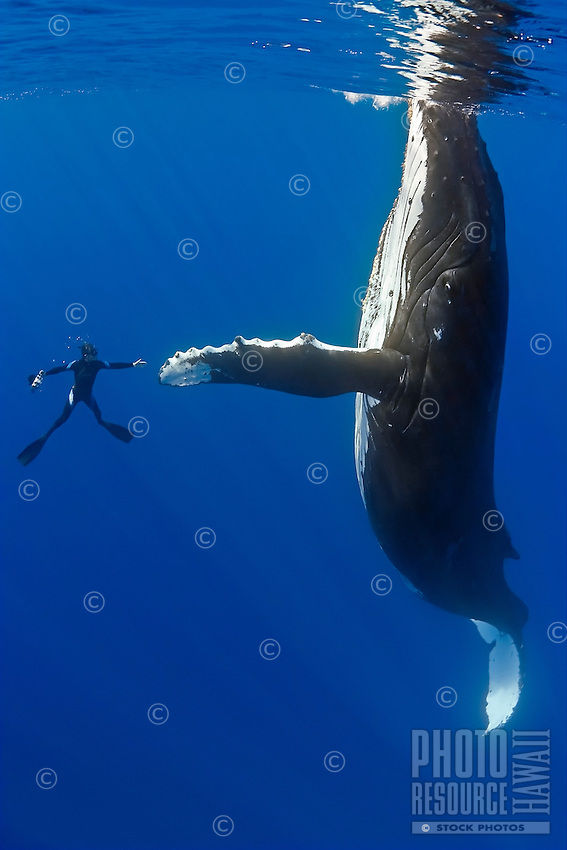 Humpback whale, Megaptera novaeangliae, and diver, reaching out for a physical contact, Pacific Ocean.
